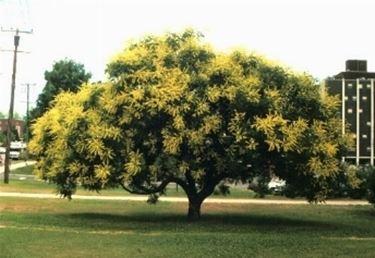 koelreuteria in fiore
