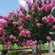 alberi con fiori rosa