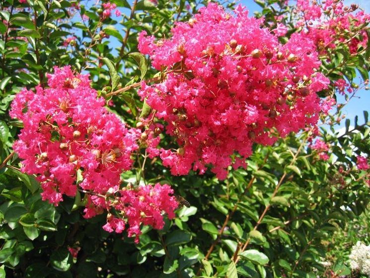 fiori lagerstroemia