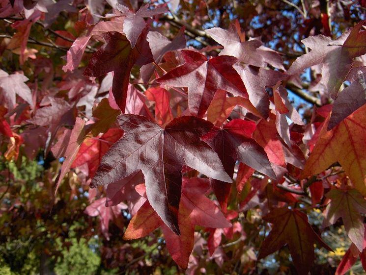 liquidambar foglie
