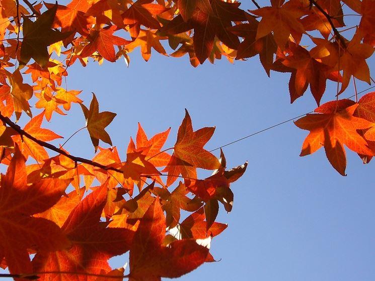 foglie liquidambar