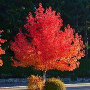 Liquidambar alberi latifolie caratteristiche liquidambar - Alberi bassi da giardino ...