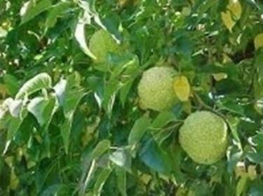 frutti maclura