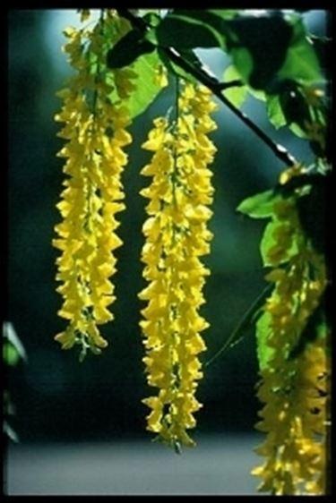 fiori laburnum anagyroides