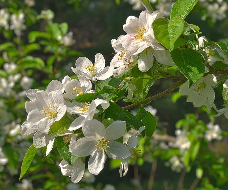 fiori melo selvatico