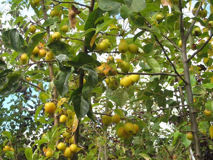 frutti melo selvatico
