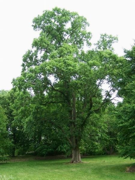 Olmo ciliato alberi latifolie for Pianta nocciolo prezzo