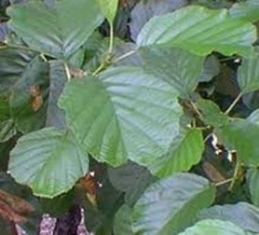 foglie ontano nero