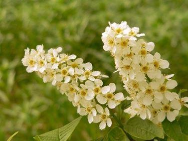 fiori di pado