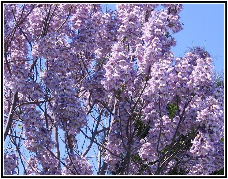 fiori paulonia