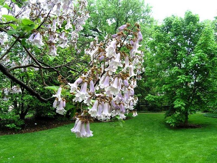 paulonia fiorita
