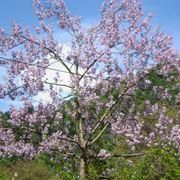 Paulonia alberi latifolie for Alberi alto fusto nomi