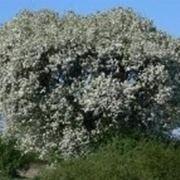 Alberi da giardino sempreverdi alberi latifolie alberi for Alberi alto fusto nomi