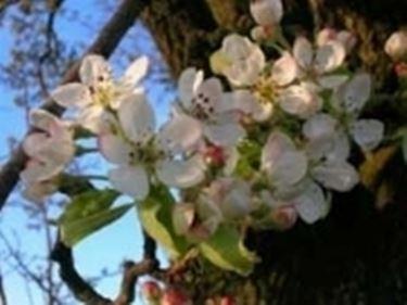 fiori pero selvatico