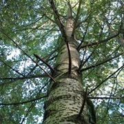 albero pioppo