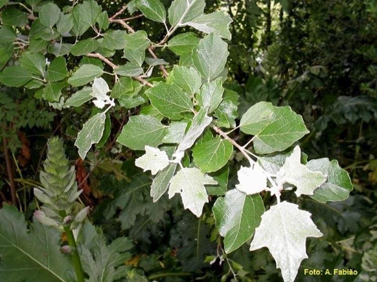 foglie pioppo bianco