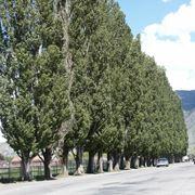 pioppo albero