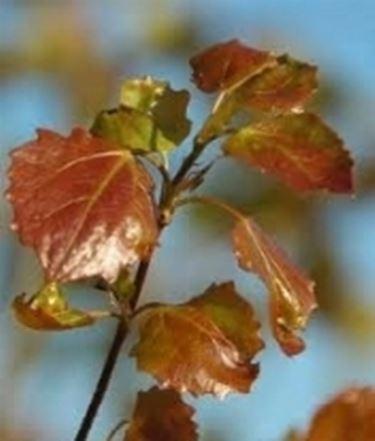 foglie pioppo tremulo