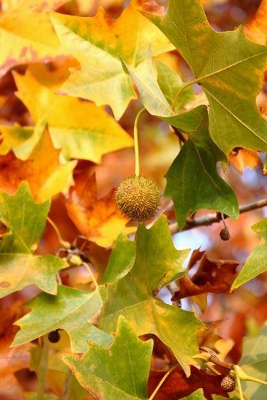 frutti platano occidentale