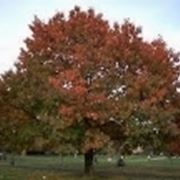 Quercus rubra habitus autunnale