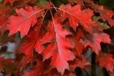 Foglie autunnali Quercus rubra