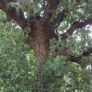 quercia vallonea