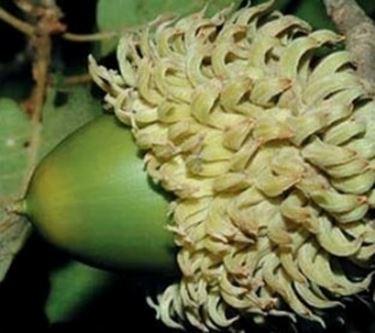 ghianda quercia vallonea
