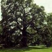 Rovere alberi latifolie for Alberi alto fusto nomi