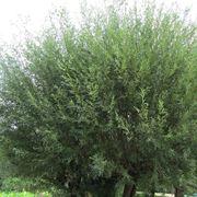 salice pianta