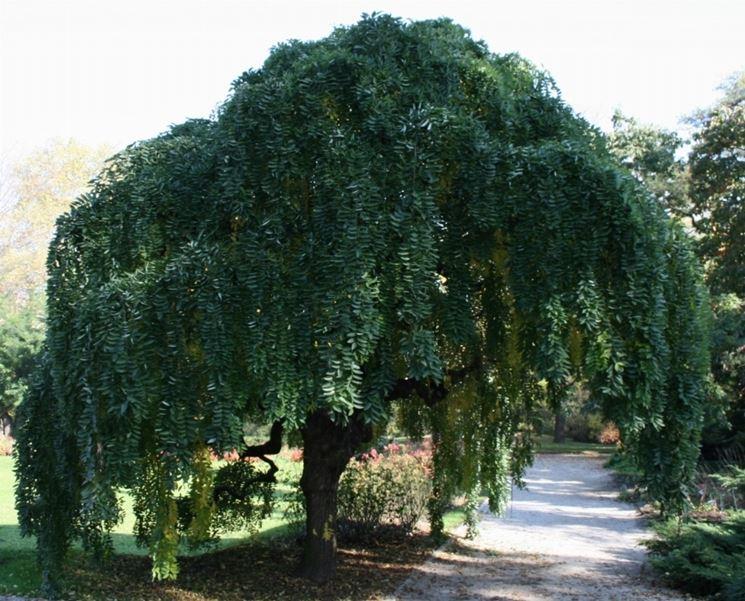 Sophora japonica var. pendula