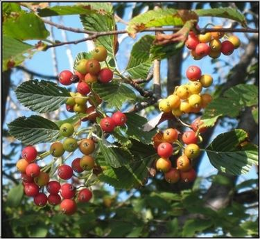 frutti sorbus aria