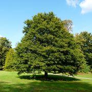 albero sughero