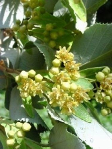 fiori tilia tomentosa