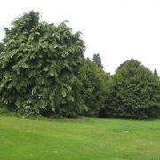 Tiglio nostrano alberi latifolie for Tiglio albero