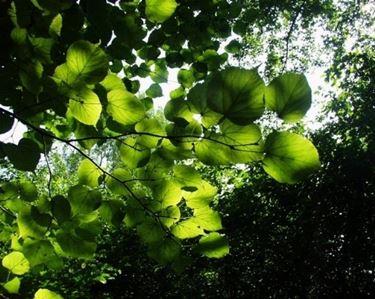 foglie tiglio selvatico