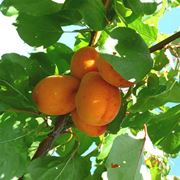 Pianta di Albicocco con frutti