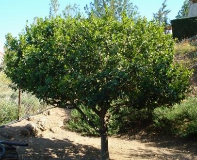 Alloro laurus nobilis aromatiche for Pianta di alloro