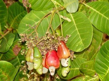 Frutto di Anacardio con foglie