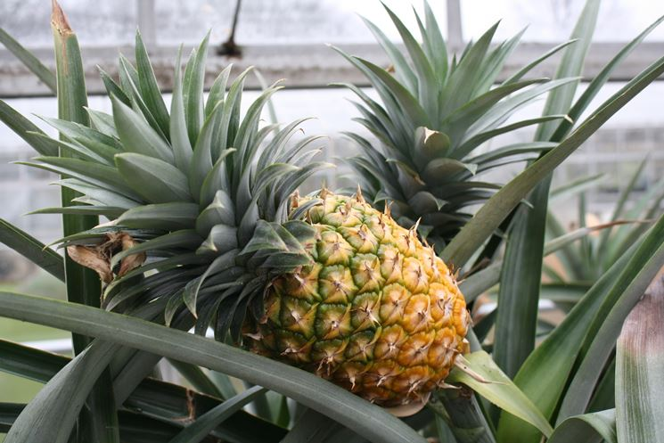frutto ananas