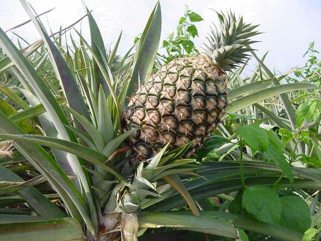 Ananas ananas sativus frutti tropicali - Pianta ananas ...