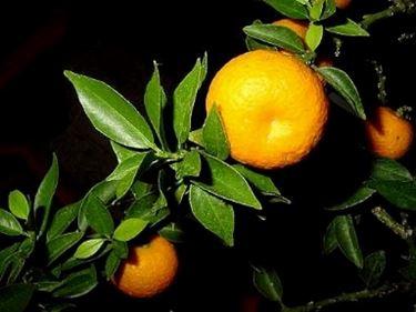 Frutto di Arancio con foglie