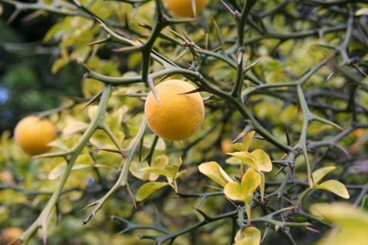 Frutti e foglie di Arancio trifogliato