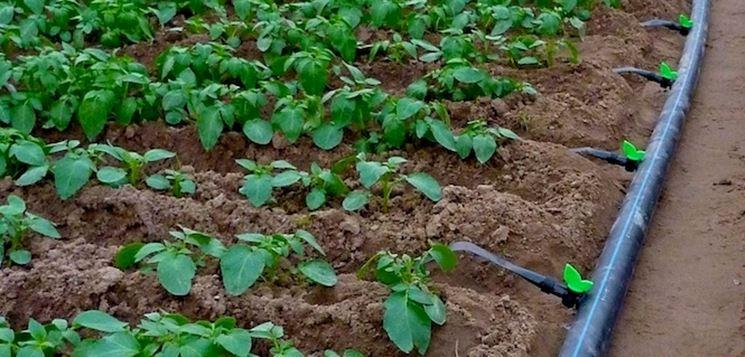 Tubi gocciolatori in un campo coltivato