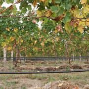 Irrigazione capillare in vigna