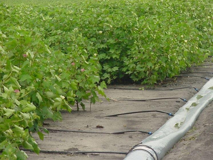 irrigazione a goccia mais