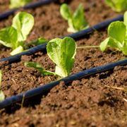 Tubo per irrigazione a goccia in un orto
