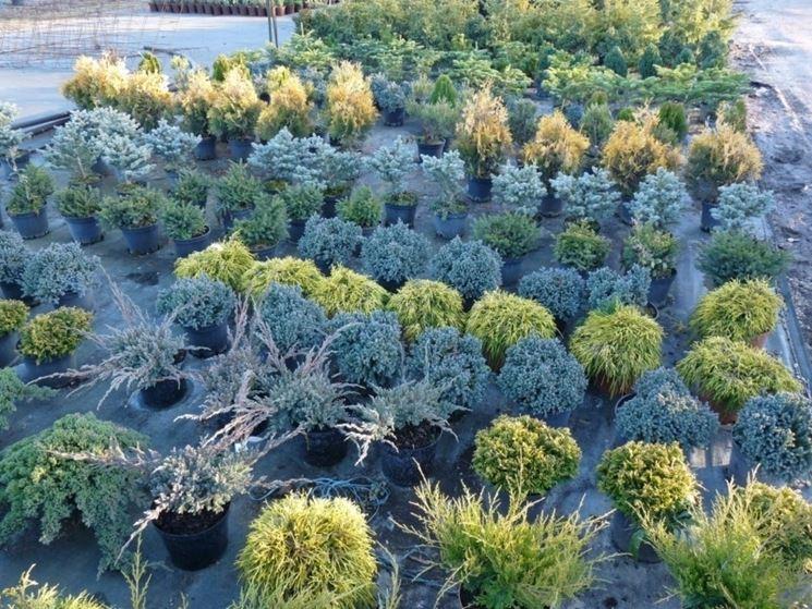 Varietà di conifere nane