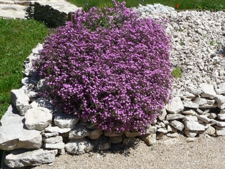 Saponaria in giardino roccioso