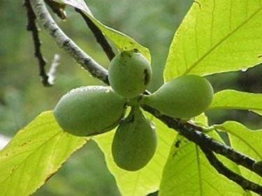 Frutti di Asimina