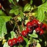 Frutti di Azzeruolo
